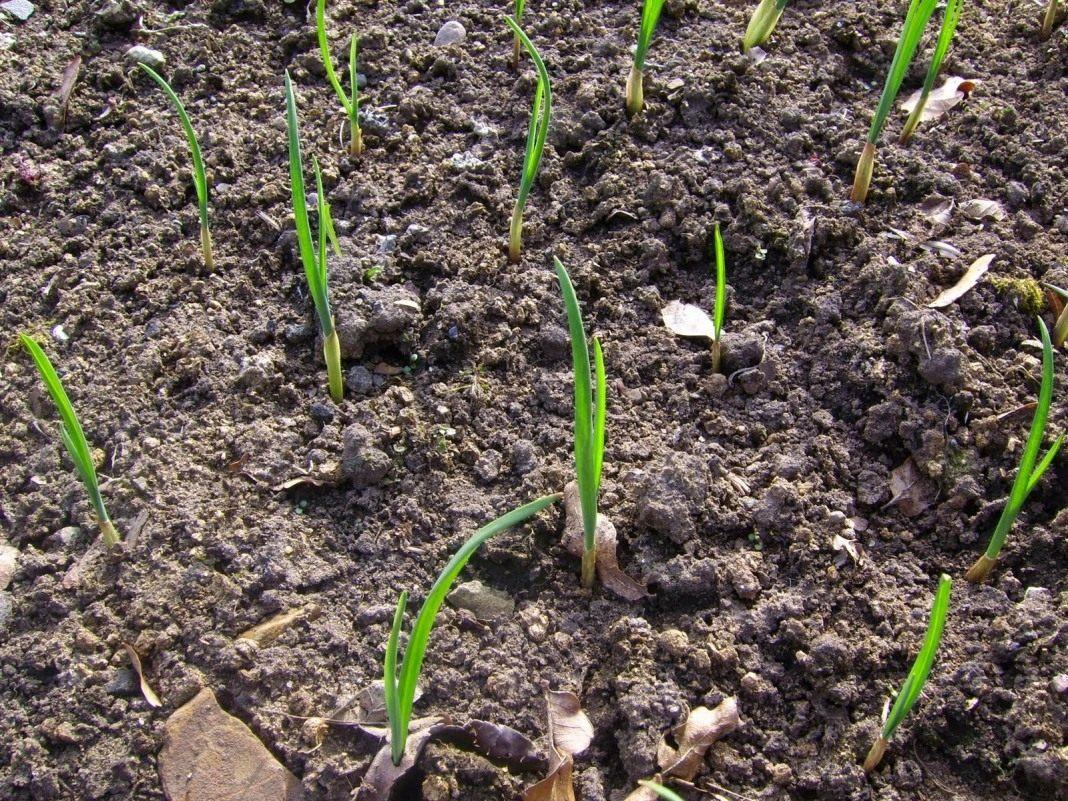 какую почву любит чеснок