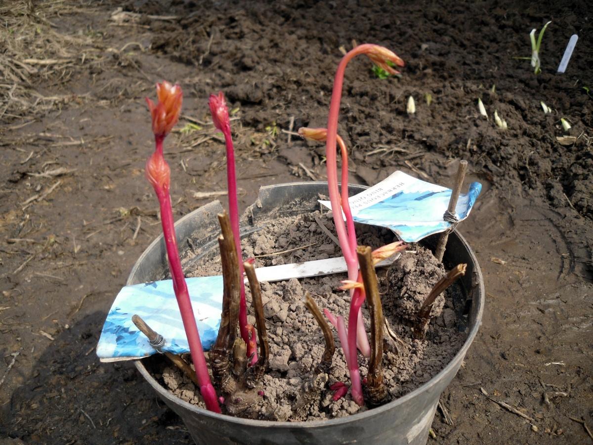 чем подкормить пионы после цветения