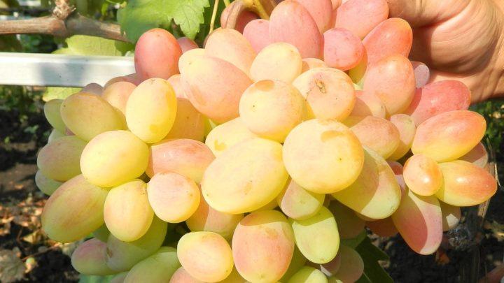 осенняя подкормка винограда в зиму