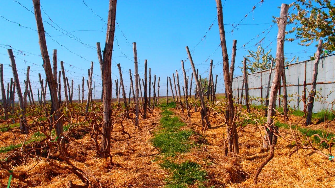 подкормка винограда осенью удобрениями