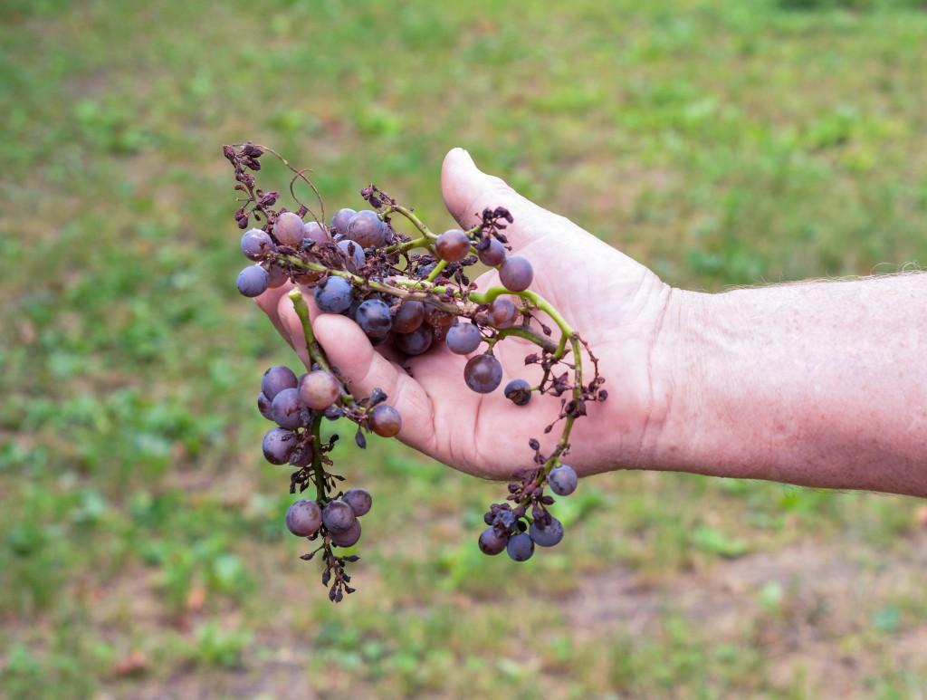 чем подкормить виноград осенью чтобы был хороший урожай