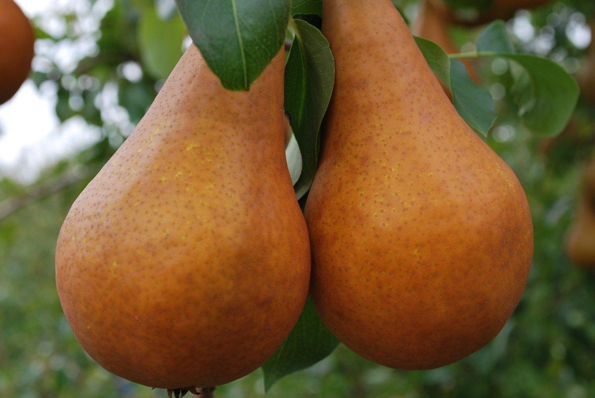 чем подкормить грушу осенью