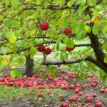подкормка плодовых деревьев осенью