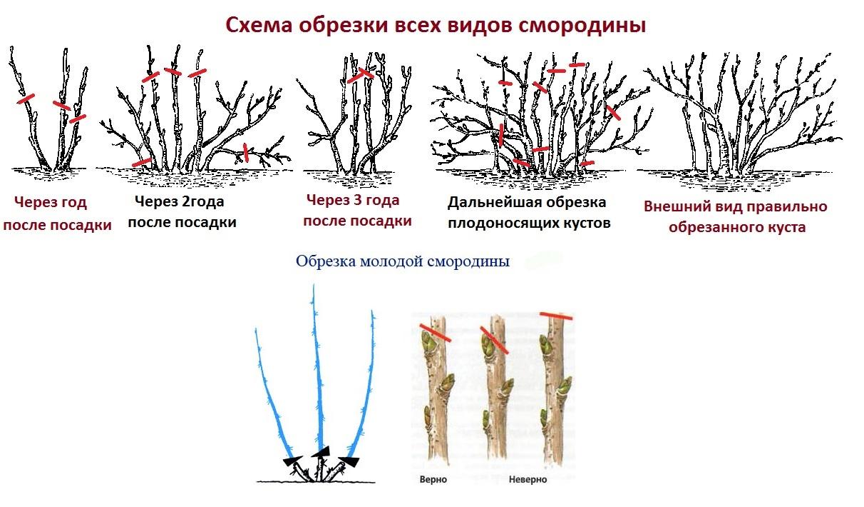 обрезка и подкормка смородины осенью