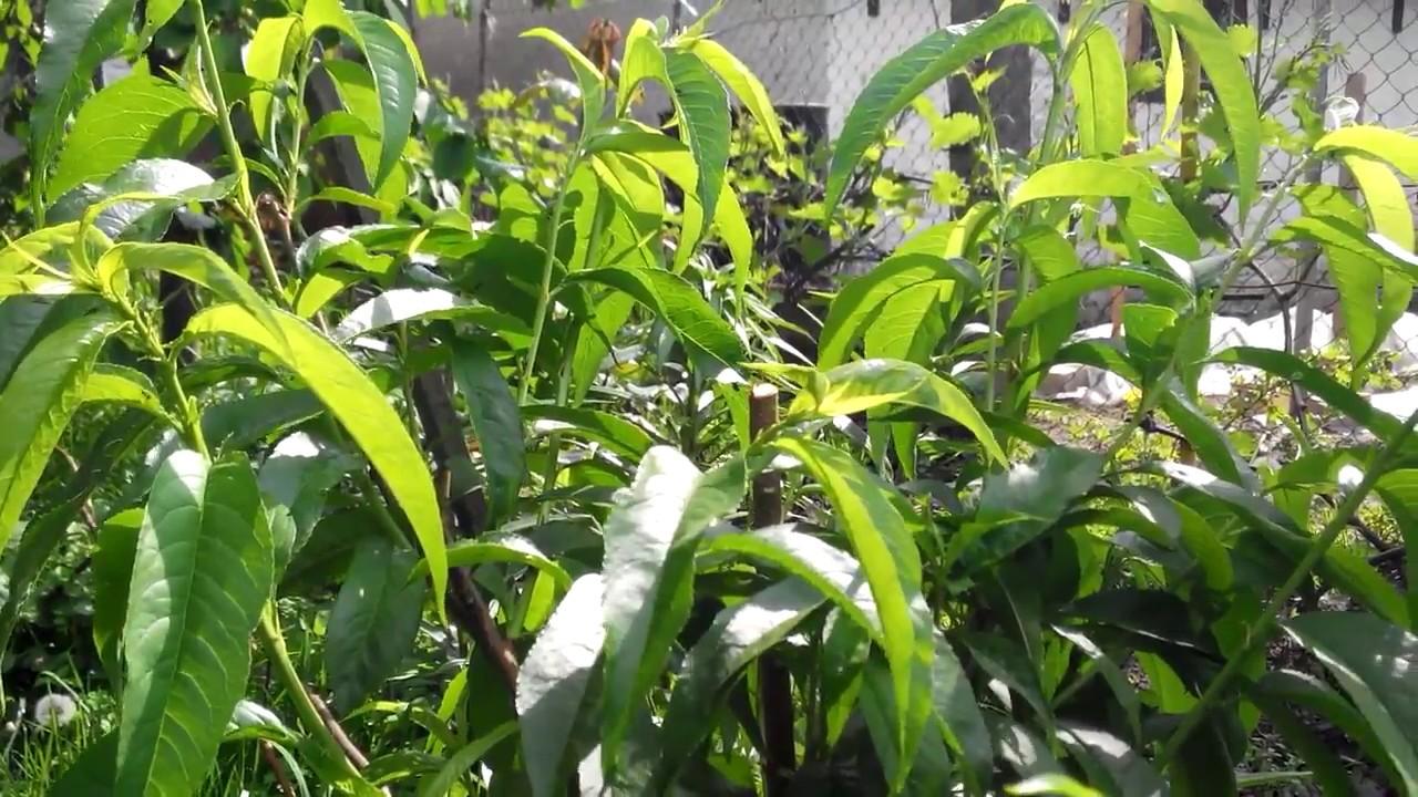 чем подкормить персик после сбора урожая
