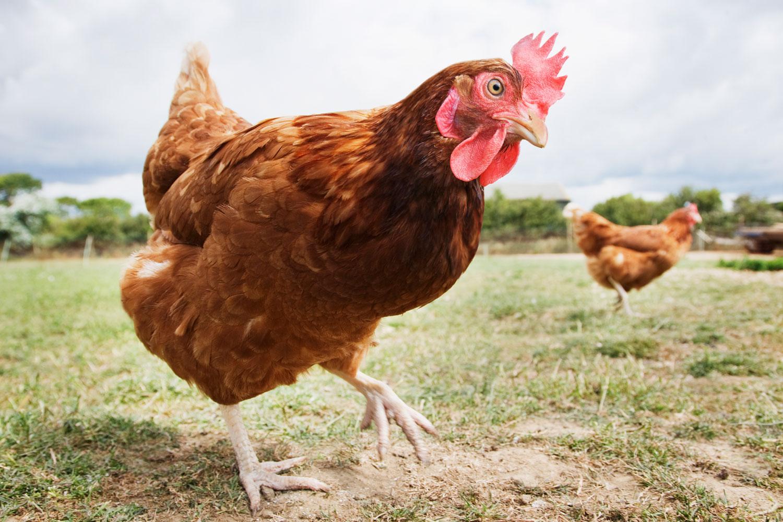 куриный помет как удобрение как применять отзывы