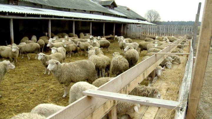 овечий навоз