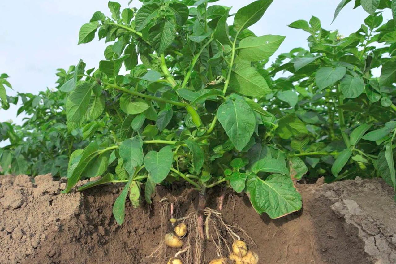 ботва картофеля