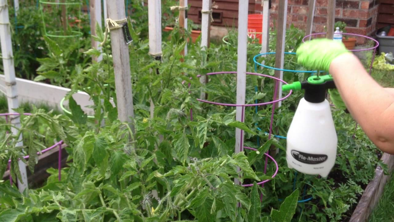 подкормка помидор борной кислотой