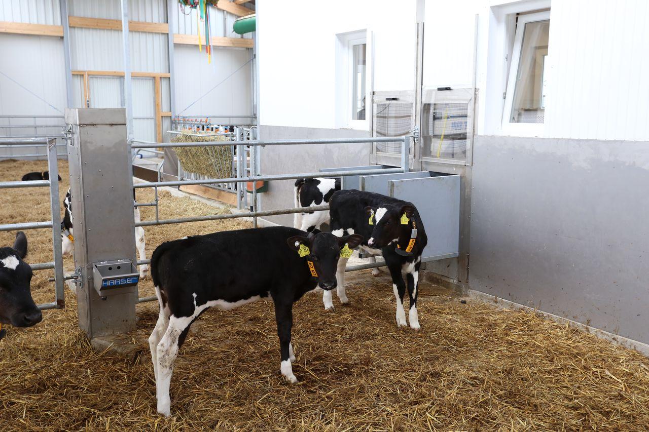 как разводить коровяк