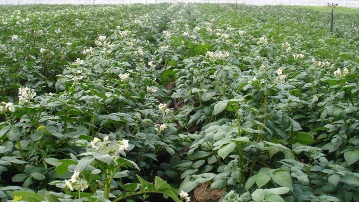 удобрения под картофель