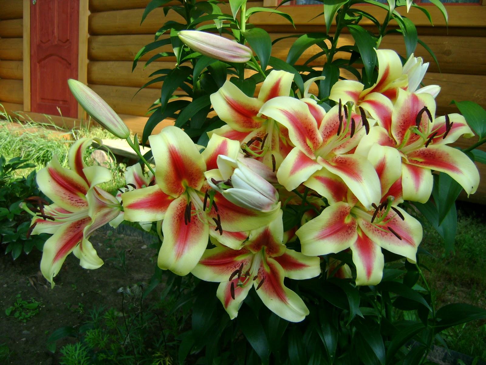 чем подкормить лилии осенью