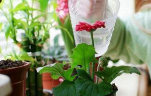 можно ли поливать комнатные цветы дрожжами