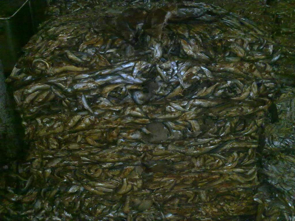 рыбная мука как удобрение как применять