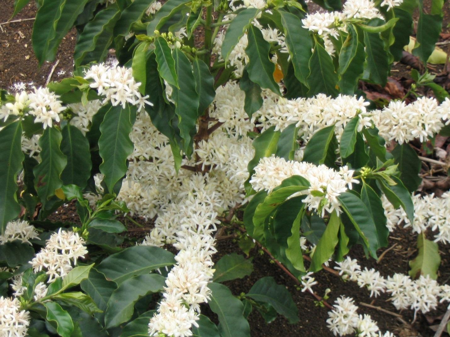 Кофе арабика домашний цветок
