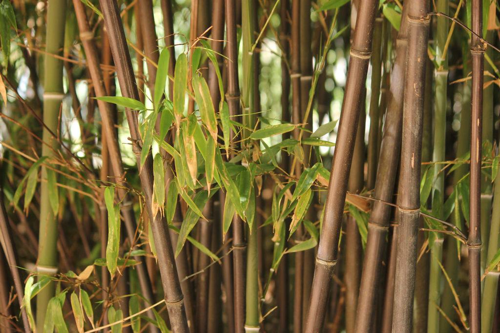 выращивание бамбука