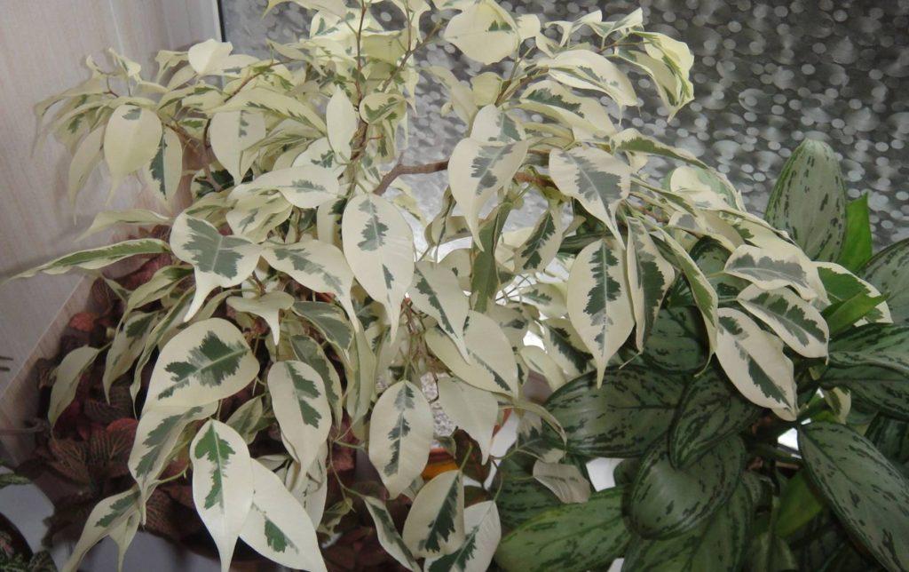 всегда старалась фото комнатного цветка с бело зелеными листьями датчики