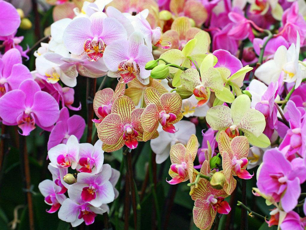 орхидея в горшке как ухаживать