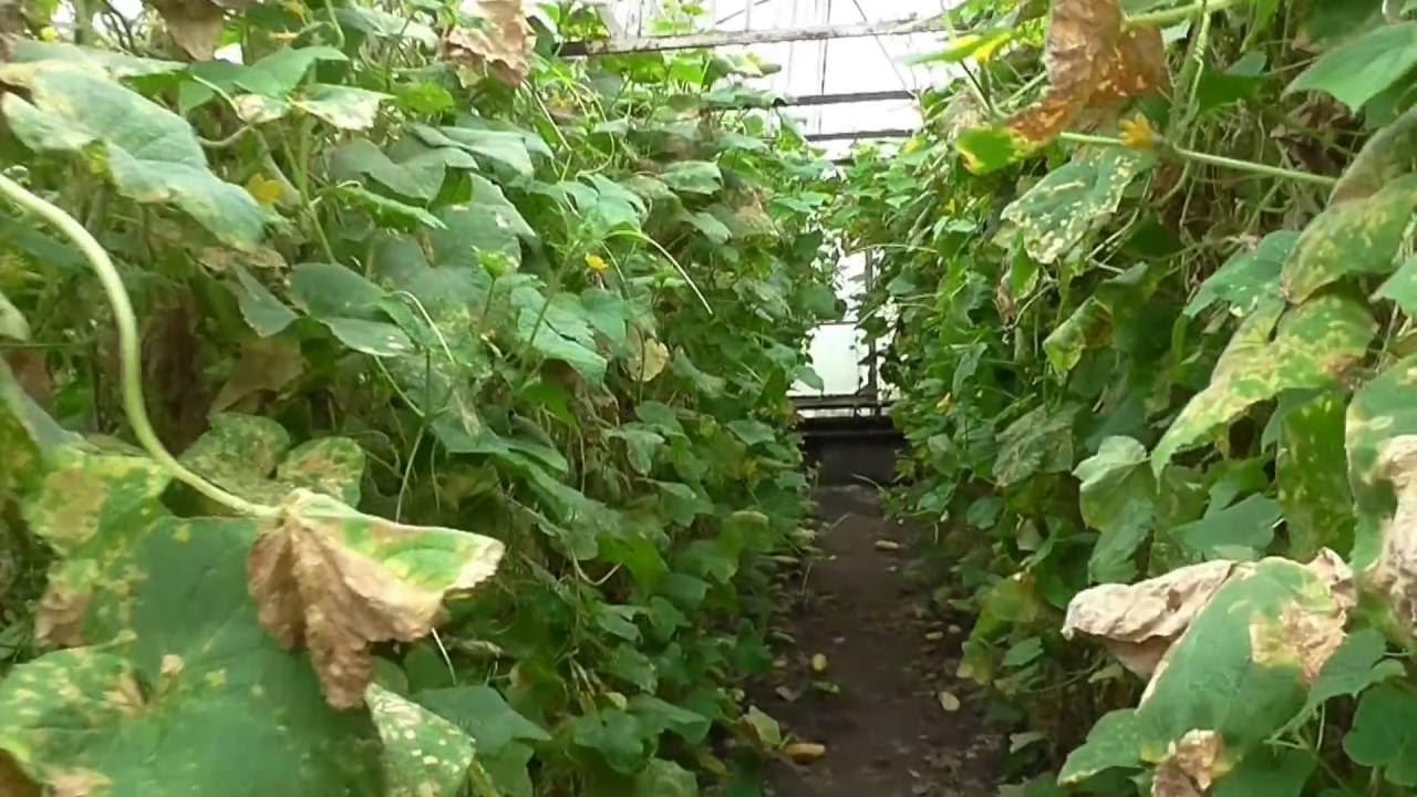средство от паутинного клеща на комнатных растениях