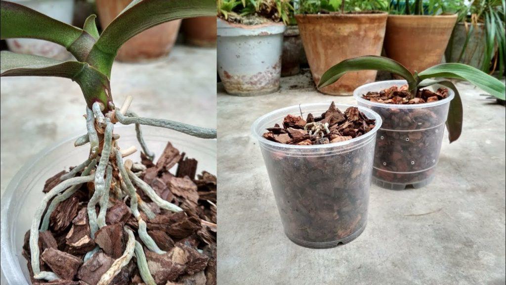 пересадить орхидею правильно