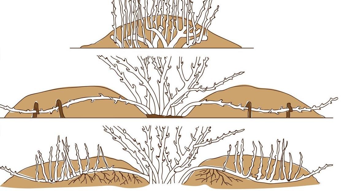 Гортензия из черенков посадка и уход в открытом грунте