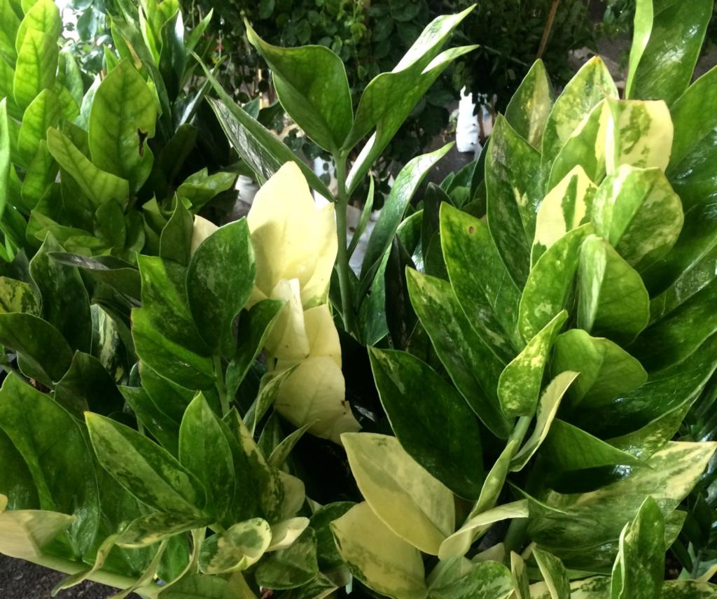 как цветет замиокулькас