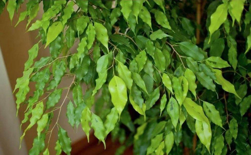 дерево бенджамина