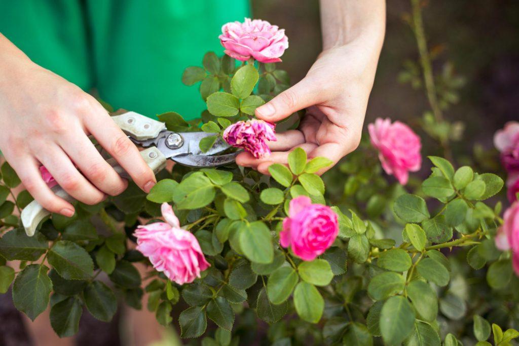 как ухаживать за комнатными розами в горшках после покупки