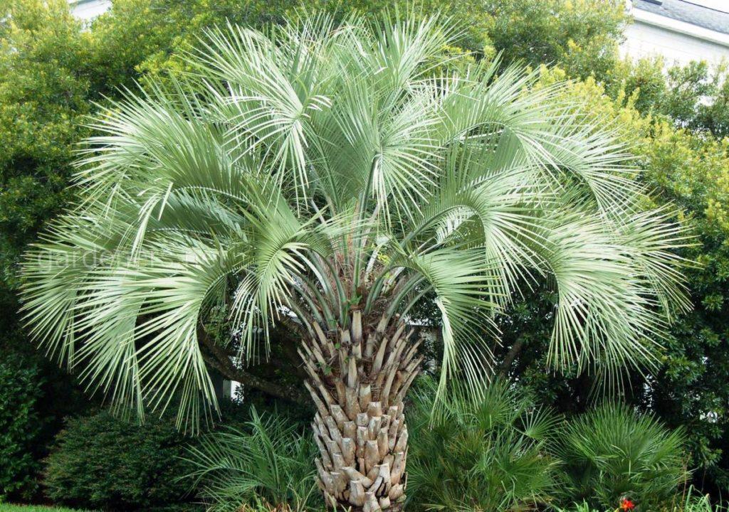 как ухаживать за пальмой