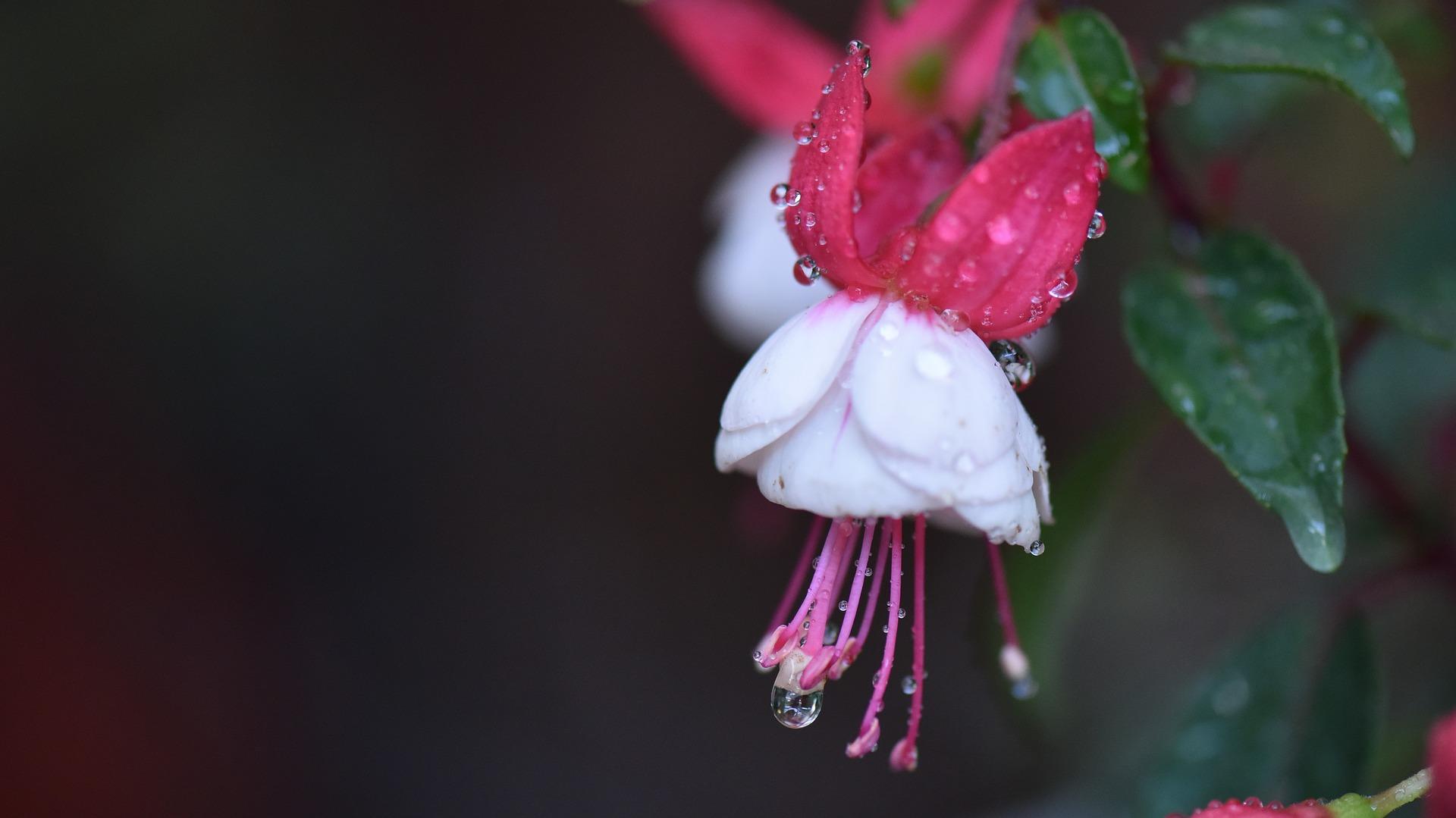 цветок фуксия уход в домашних условиях
