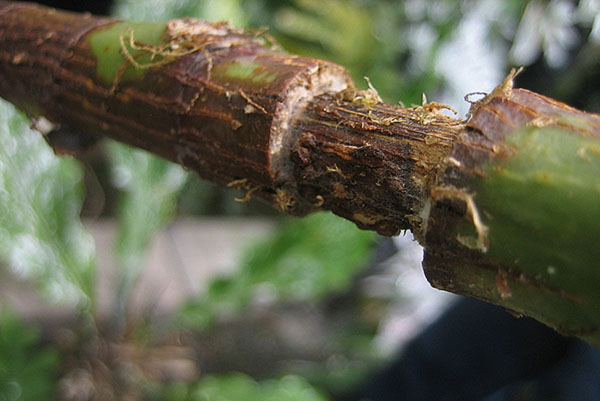 Фикус каучуконосный размножение черенками