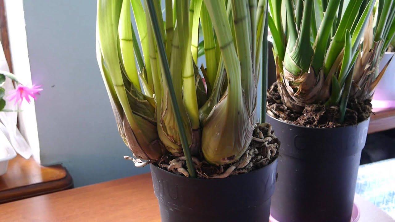 Как разделить орхидею