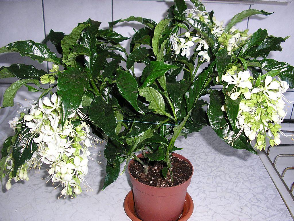 Клеродендрум не цветет
