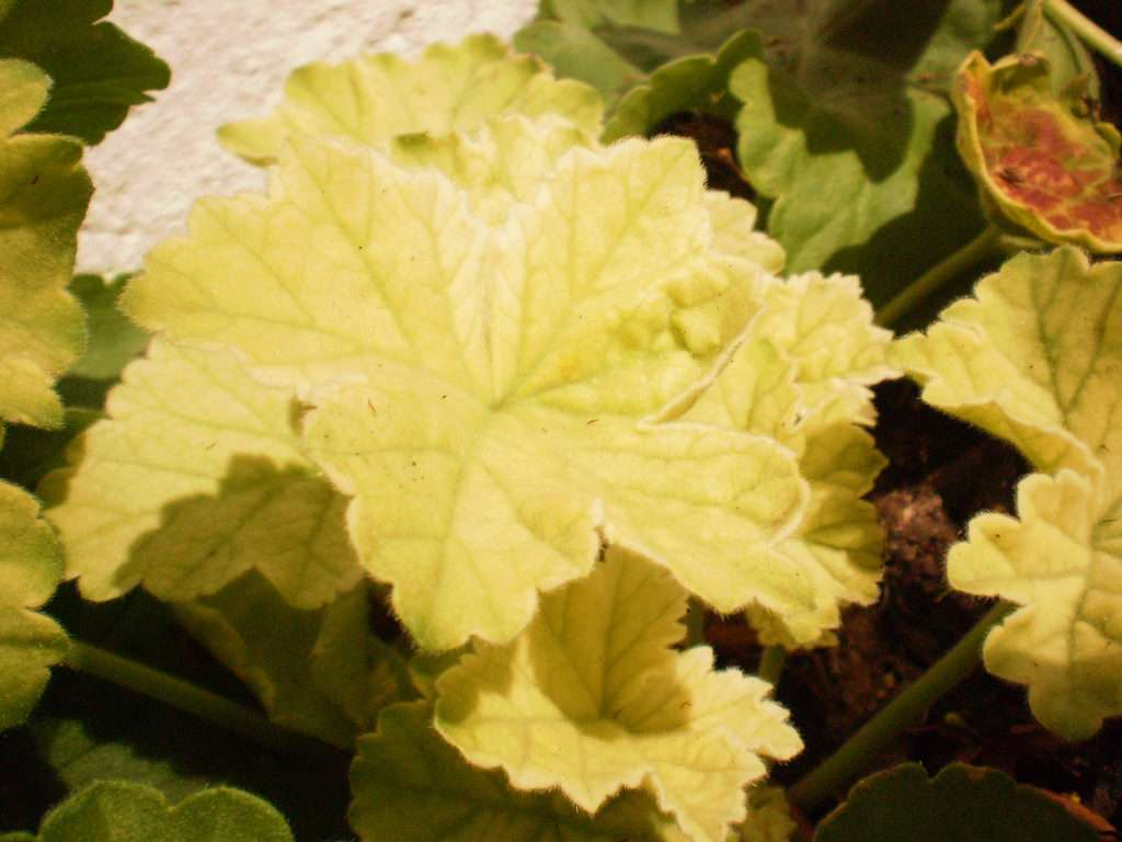 Герань уход в домашних условиях желтеют листья