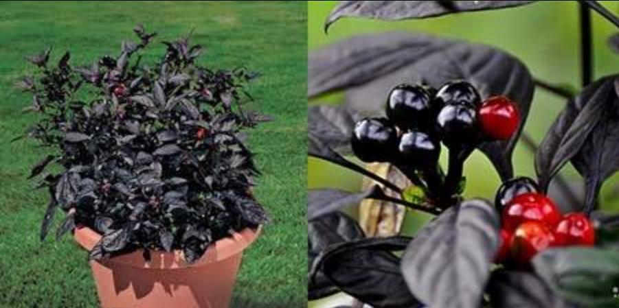 Острый перец на подоконнике выращивание из семян