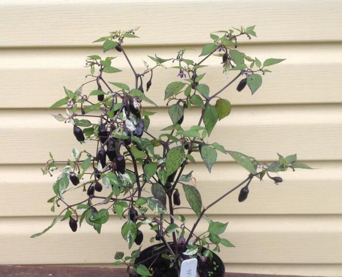 как вырастить острый перец из семян в домашних условиях на подоконнике