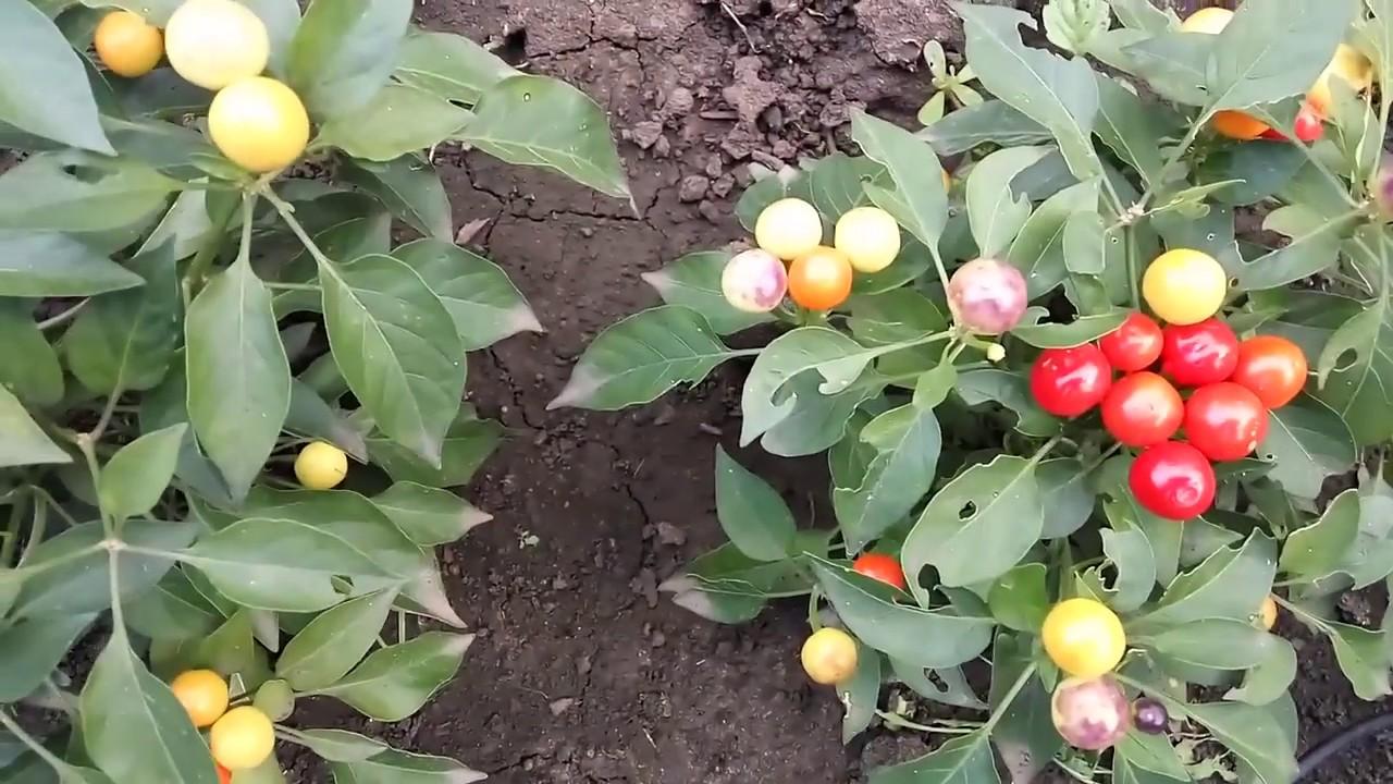 Перец огонек на подоконнике выращивание