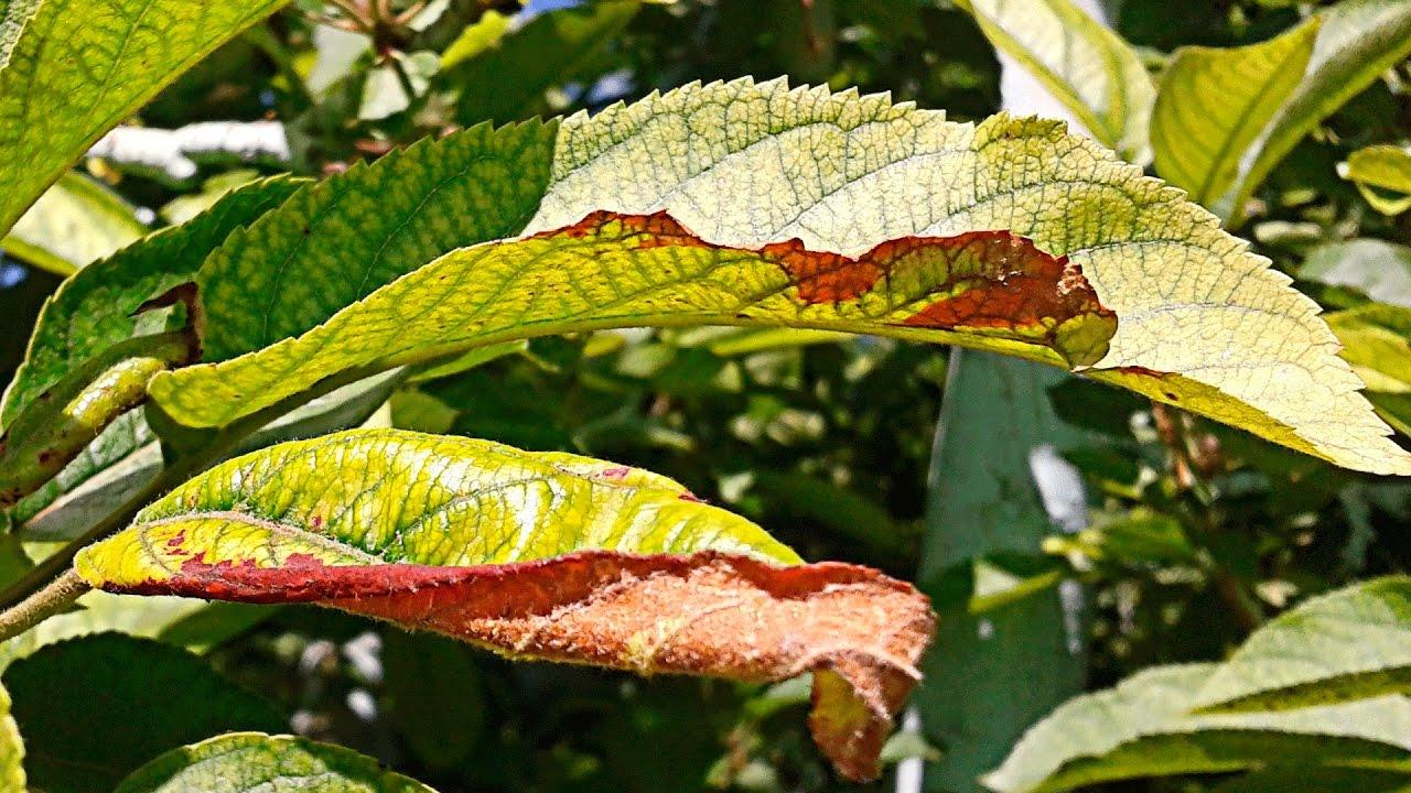Почему краснеют листья у гортензии метельчатой