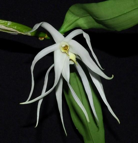 орхидея дендробиум нобиле отцвела что делать дальше