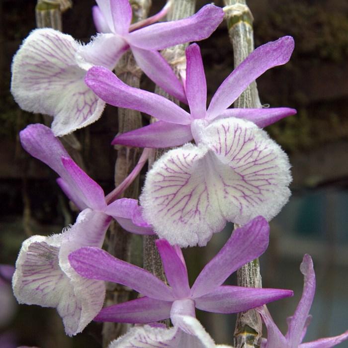 уход за дендробиумом в домашних условиях после цветения