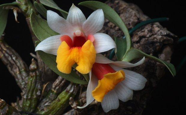 орхидея дендробиум уход и размножение в домашних условиях