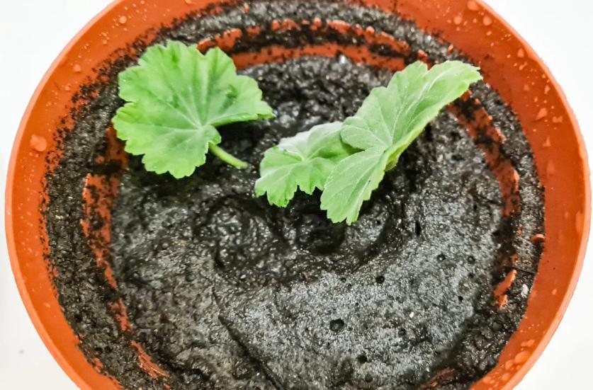 Как размножить герань черенками в домашних условиях